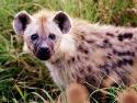 hyena_contact.jpg